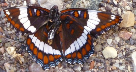 Another roadside butterfly
